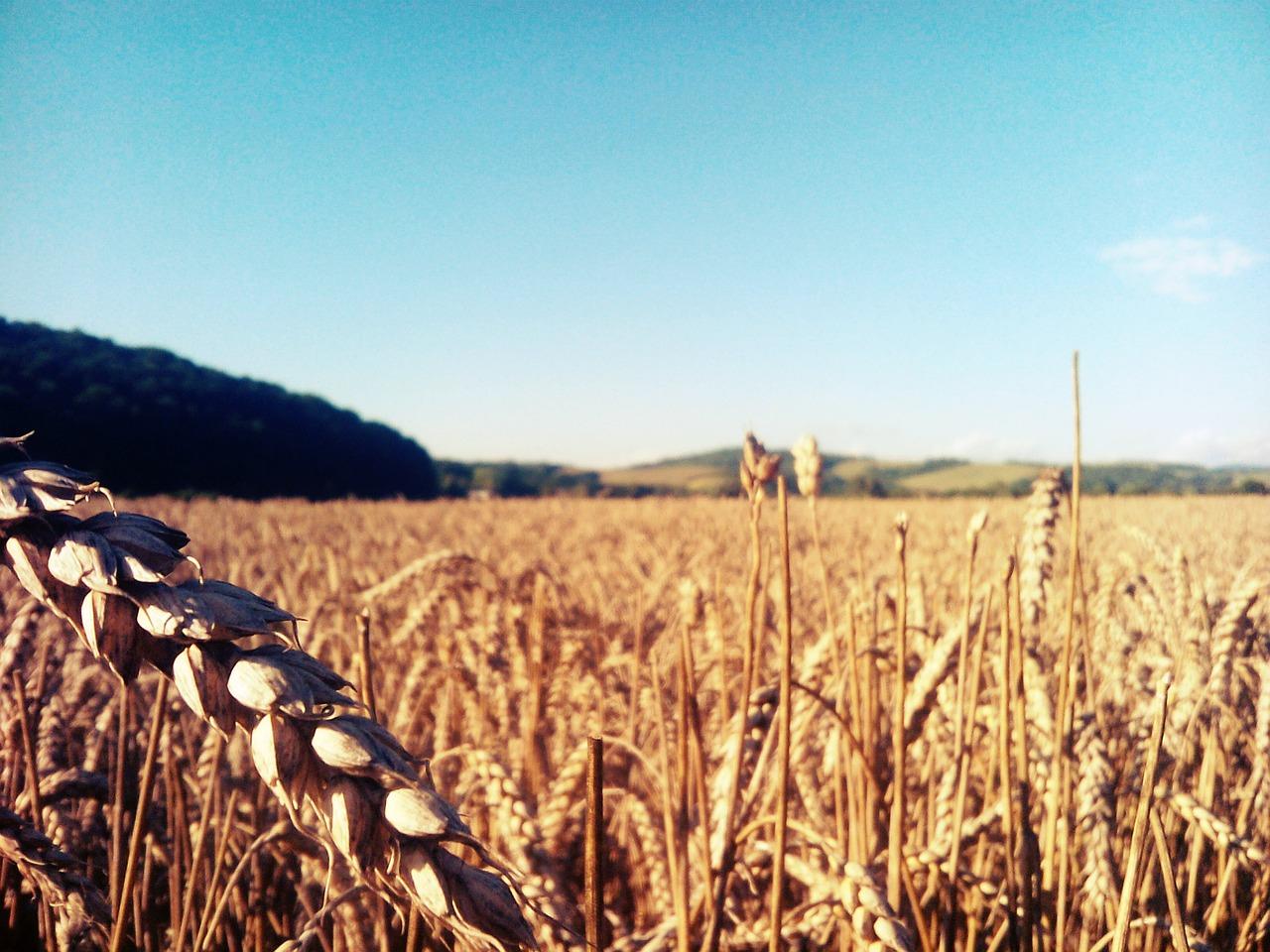 もち麦とは何?白米との割合・炊き方も!カロリー比較や特徴もチェック!
