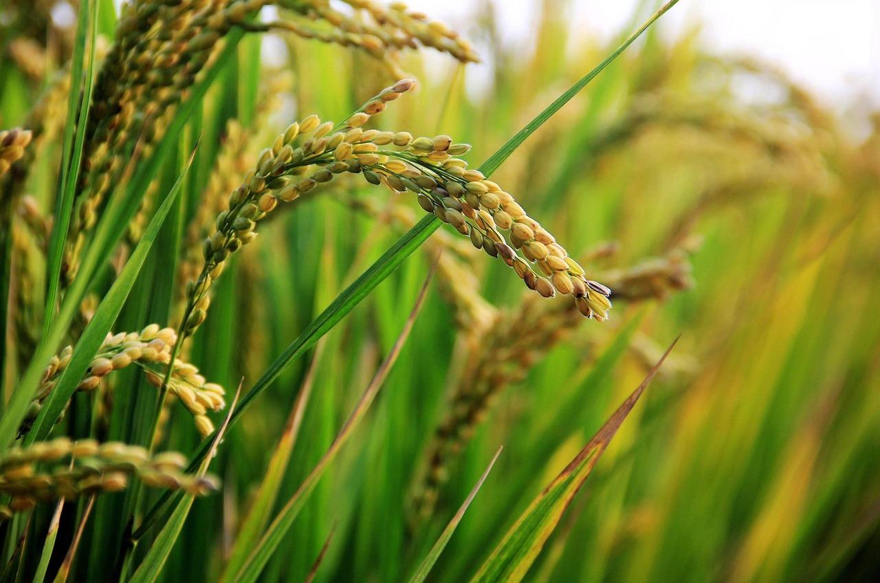 うるち米ともち米は栄養や水分量も違うの?カロリーなども確認!