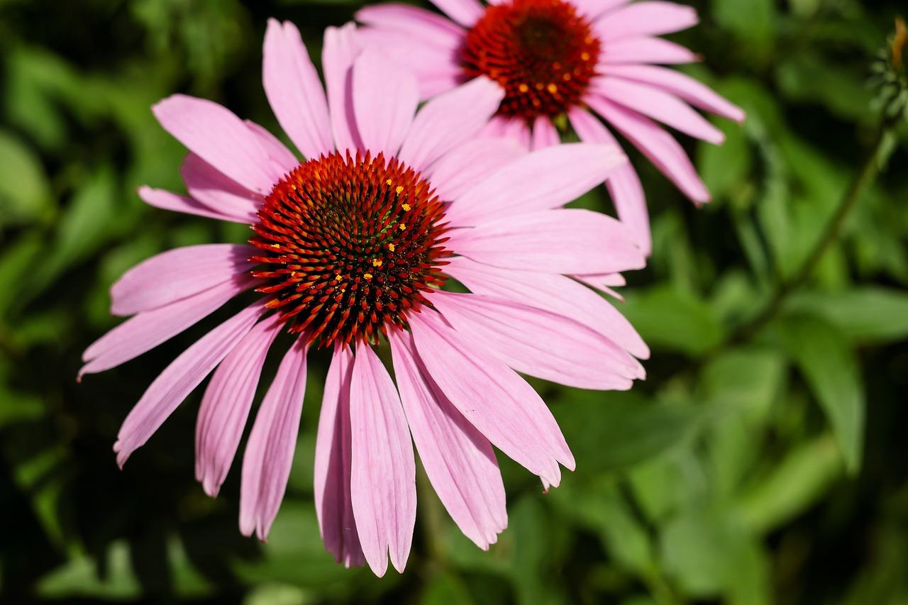 エキナセアの効能はハーブティーで花粉症に良い?作り方と飲み方を紹介!