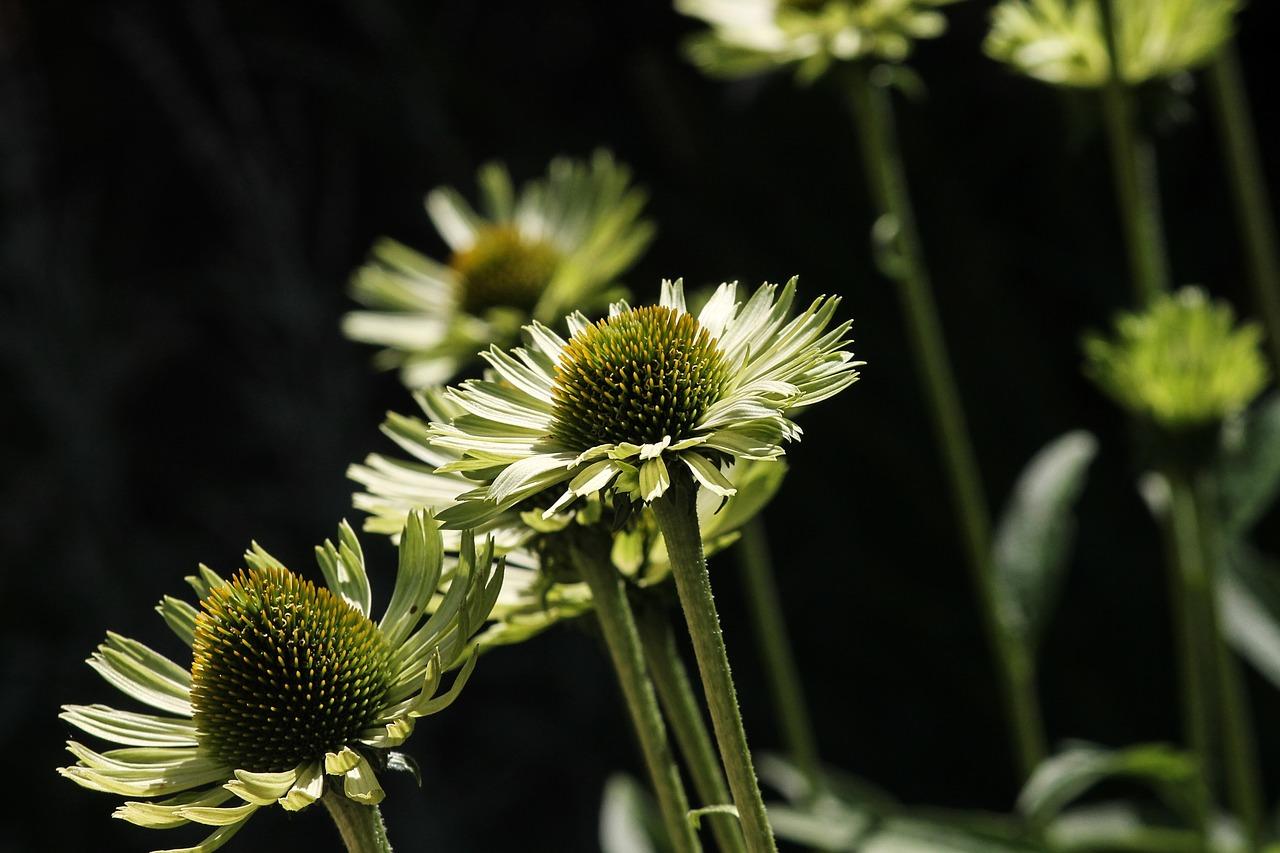 エキナセアの育て方!地植えと鉢植えで種まきや苗は違う?冬の越し方も!