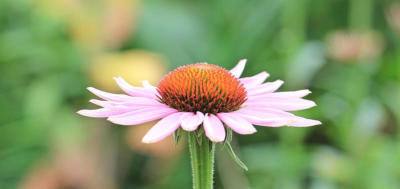 エキナセア茶の作り方は?花粉症に効果的な飲み方も確認!