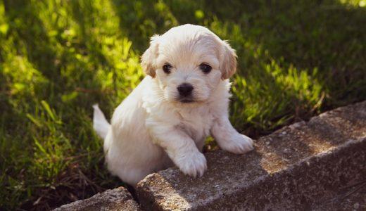 犬のワクチン接種時期はいつ?種類や副作用・接種後散歩やシャンプーはok?動物病院で毎年必須か紹介!